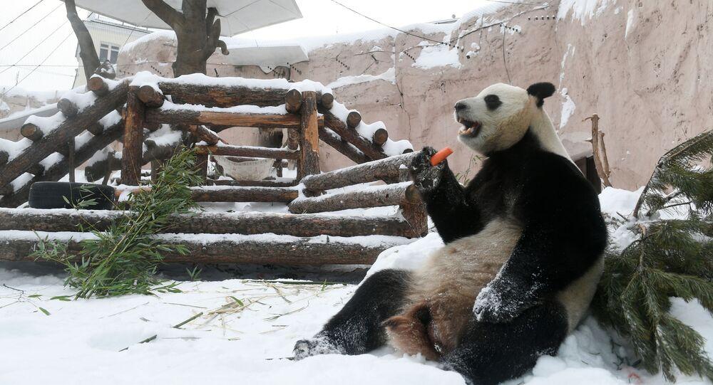 Panda gigante nello zoo di Mosca