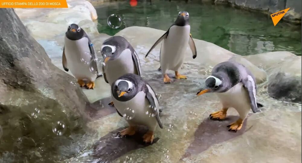Russia, ai pinguini dello zoo di Mosca è stato offerto un intrattenimento insolito