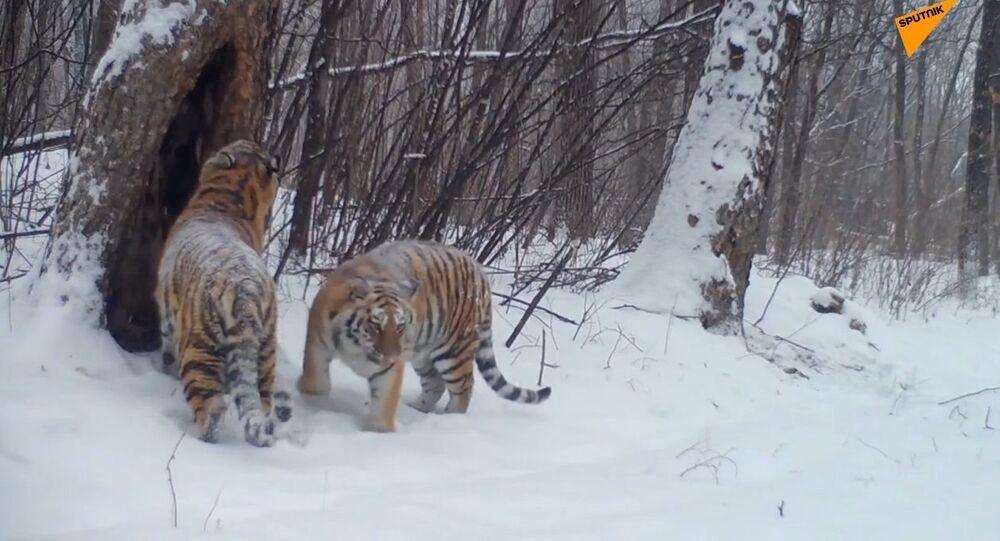 Russia: la prole delle tigri presidenziali ripresa in video nell'Estremo Oriente russo
