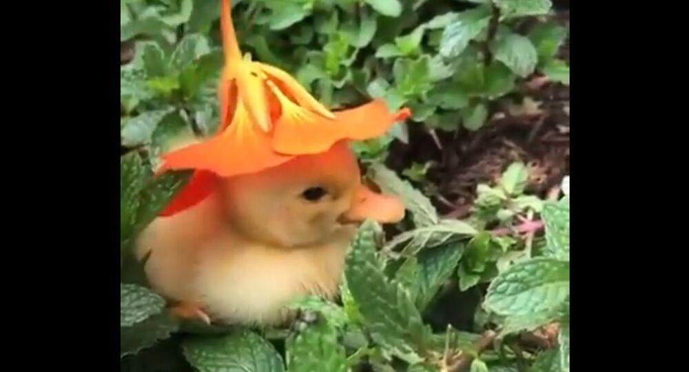 Un adorabile esemplare di papera