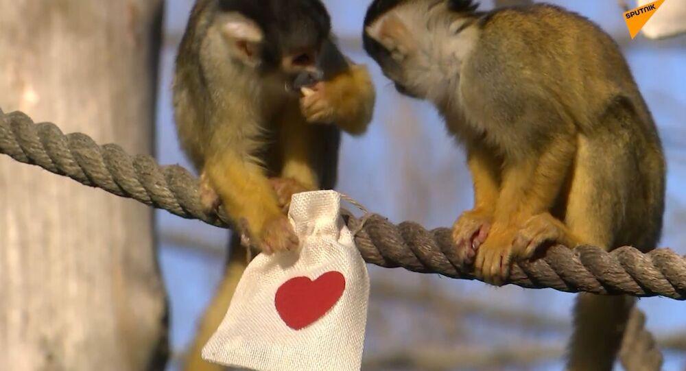 San Valentino allo zoo di Londra: anche le scimmie hanno ricevuto i regalini