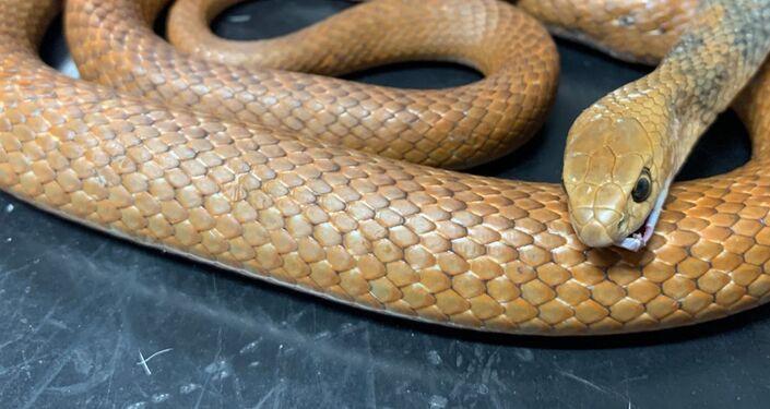 Serpente  Pseudonaja textilis