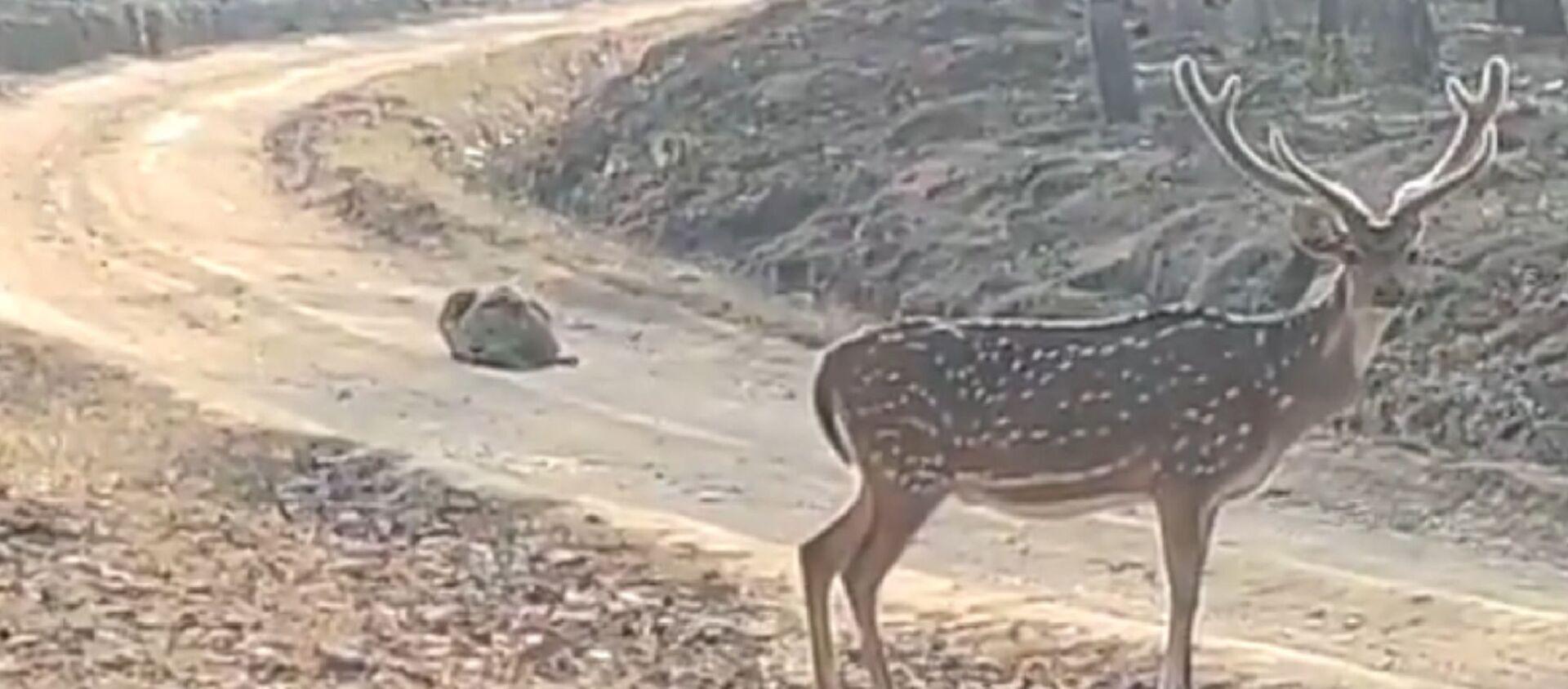 Un furbo cacciatore: tigre si finge una pietra per catturare un cervo - Sputnik Italia, 1920, 17.02.2021