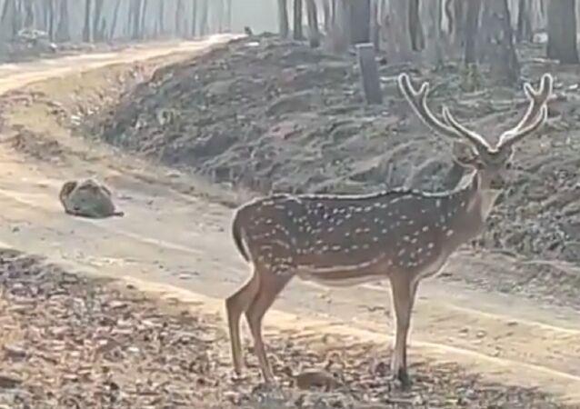 Un furbo cacciatore: tigre si finge una pietra per catturare un cervo