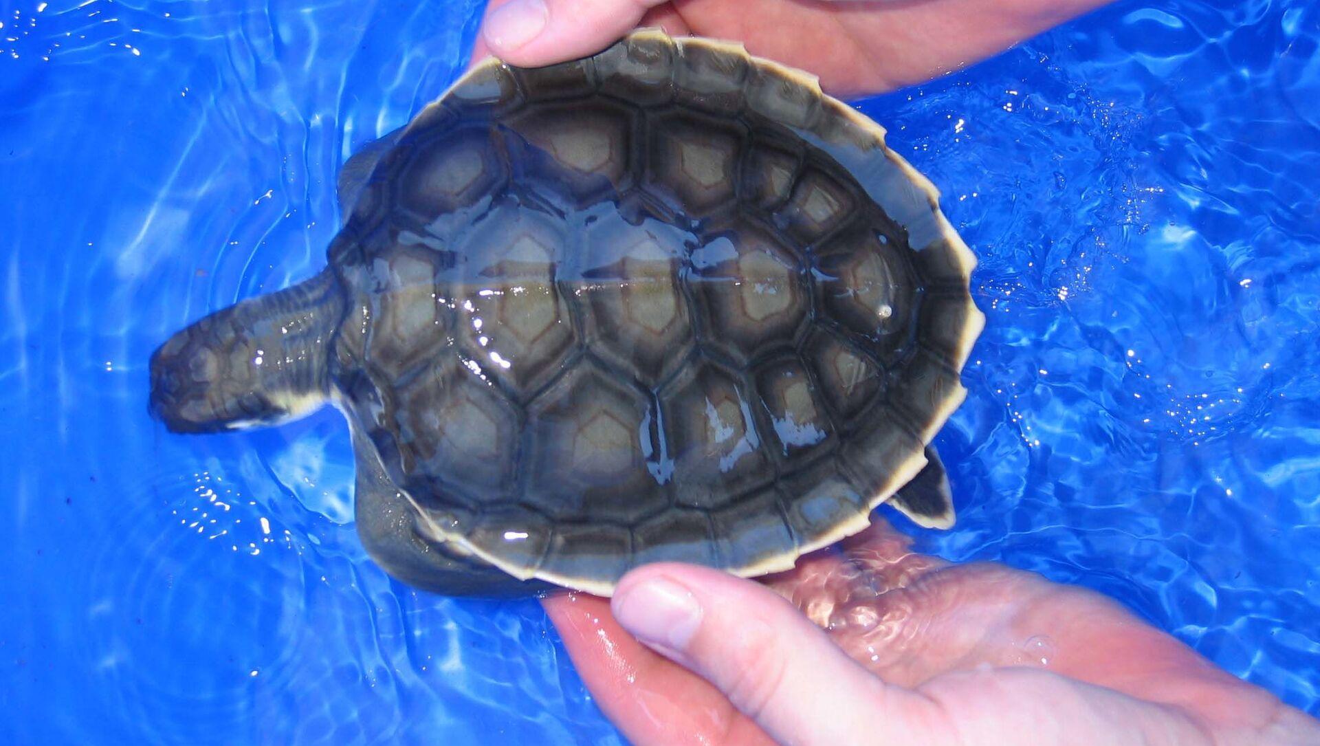 Numerose tartarughe appena nate sono bloccate sulla costa del Capricorno in Australia - Sputnik Italia, 1920, 17.02.2021