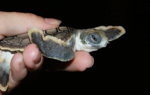 Numerose tartarughe appena nate sono bloccate sulla costa del Capricorno in Australia - Sputnik Italia