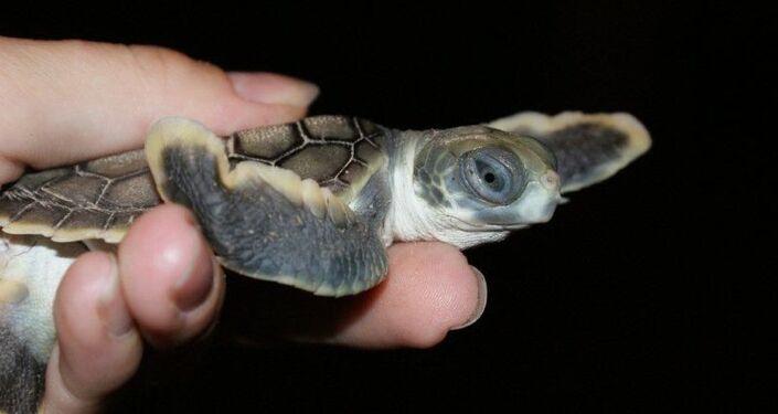 Numerose tartarughe appena nate sono bloccate sulla costa del Capricorno in Australia