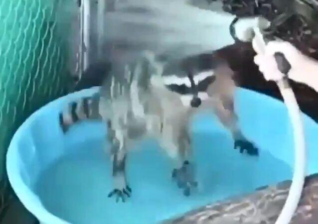 Procione fa il bagno