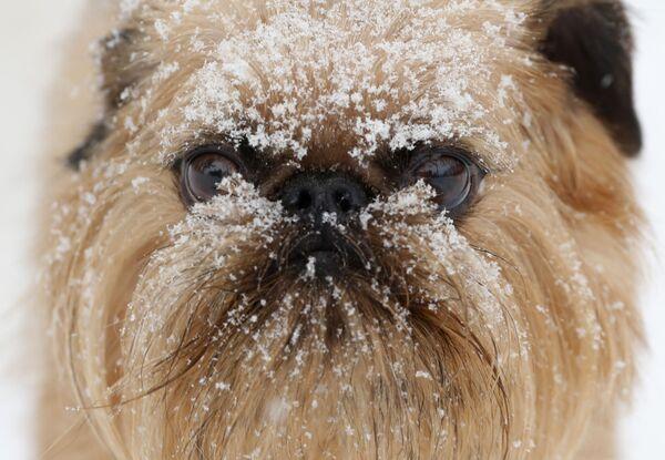 Un cane con il muso coperto della neve in un centro di cura per i cani Hounds on the Hudson, Albany, NY, USA.  - Sputnik Italia