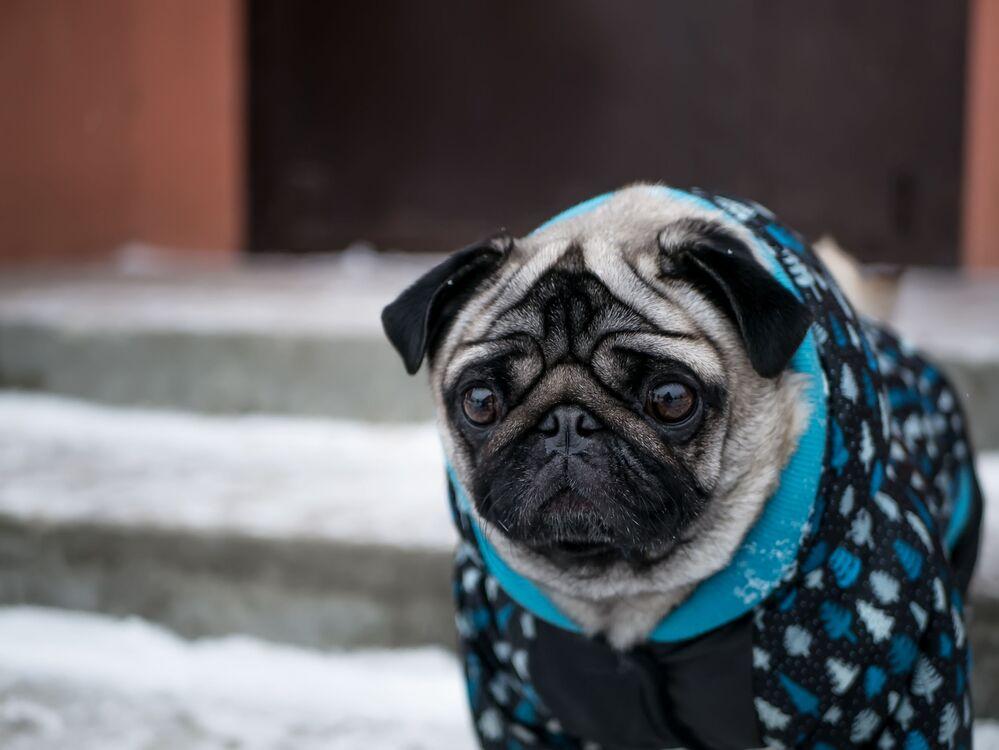 Un piccolo carlino in cappottino invernale non sembra essere molto contento della neve.