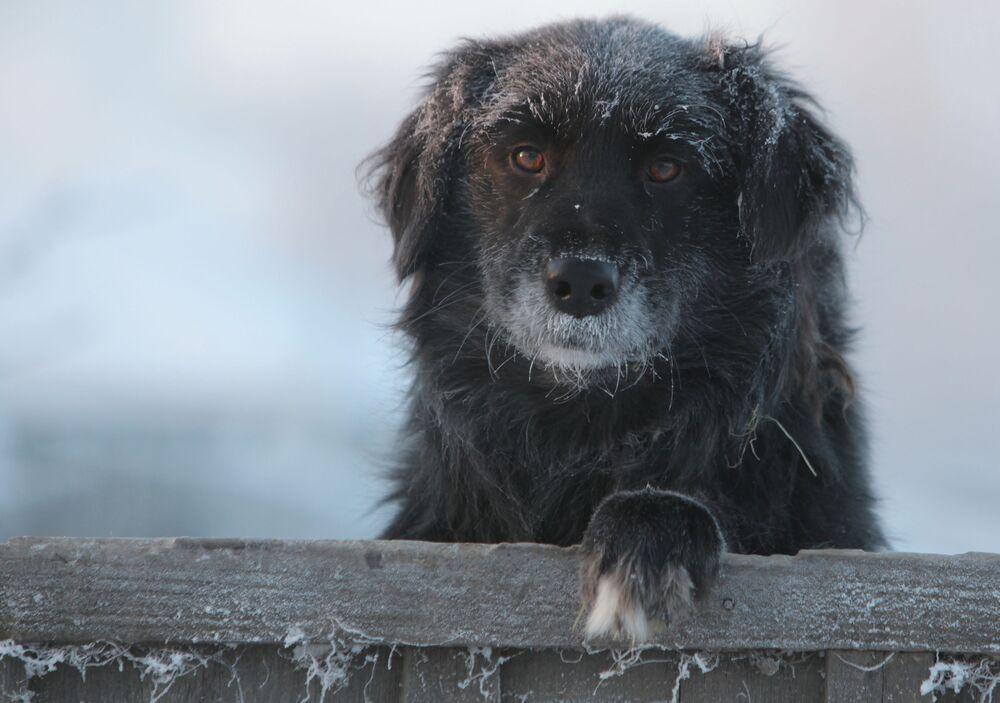 Tutta la tristezza del mondo negli occhi di un cane abbandonato nella città di Tara, nella regione di Omsk, Russia, dove la temperatura raggiunge i 30 gradi sotto zero.