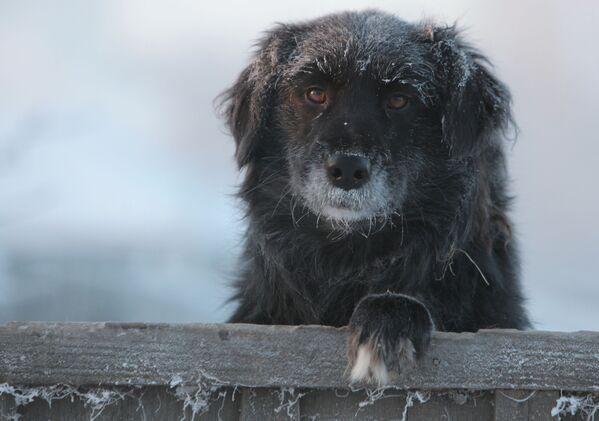 Tutta la tristezza del mondo negli occhi di un cane abbandonato nella città di Tara, nella regione di Omsk, Russia, dove la temperatura raggiunge i 30 gradi sotto zero.  - Sputnik Italia