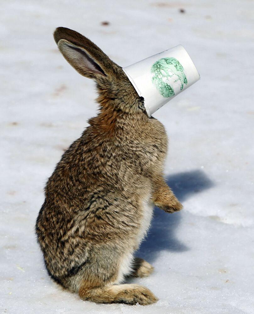 Una lepre con un bicchiere di carta sul muso.