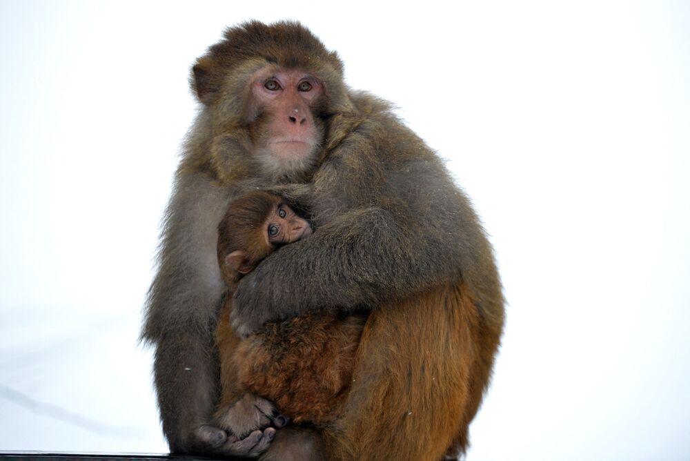 Una scimmia cerca di riscaldare il suo cucciolo.