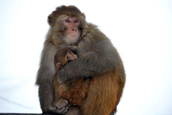 Una scimmia cerca di riscaldare il suo cucciolo.  - Sputnik Italia