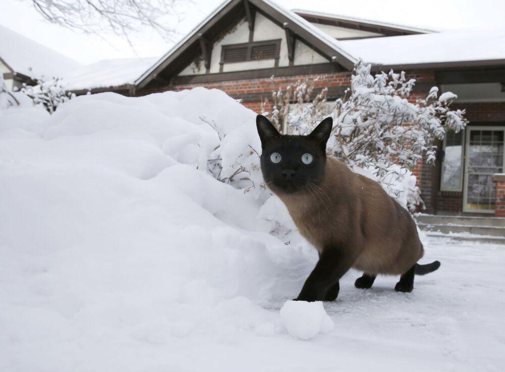 Un gatto un po' scioccato della neve passeggia per un cortile dopo una nevicata a Denver, Colorado.