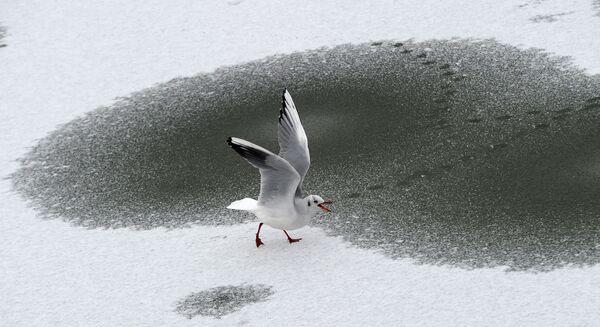 Un gabbiano cammina per un lago ghiacciato a Berlino, Germania.   - Sputnik Italia