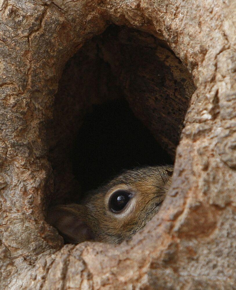 Uno scoiattolo si nasconde in una cavita dell'albero a Lafayette Park davanti alla Casa Bianca a Washington.