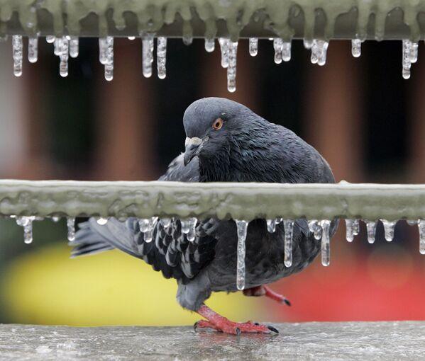 Un colombo si siede su un parapetto ghiacciato nel centro di San Antonio, in Texas, USA.  - Sputnik Italia