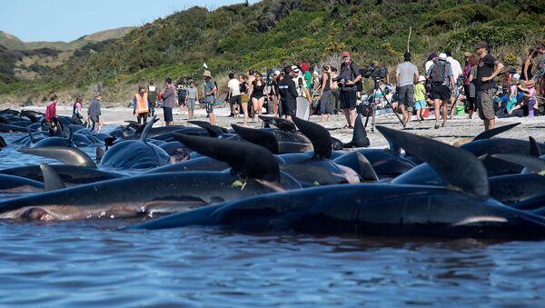 Balene spiaggiate - Sputnik Italia