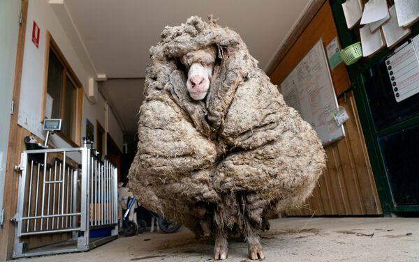 La pecora Baarack - Sputnik Italia