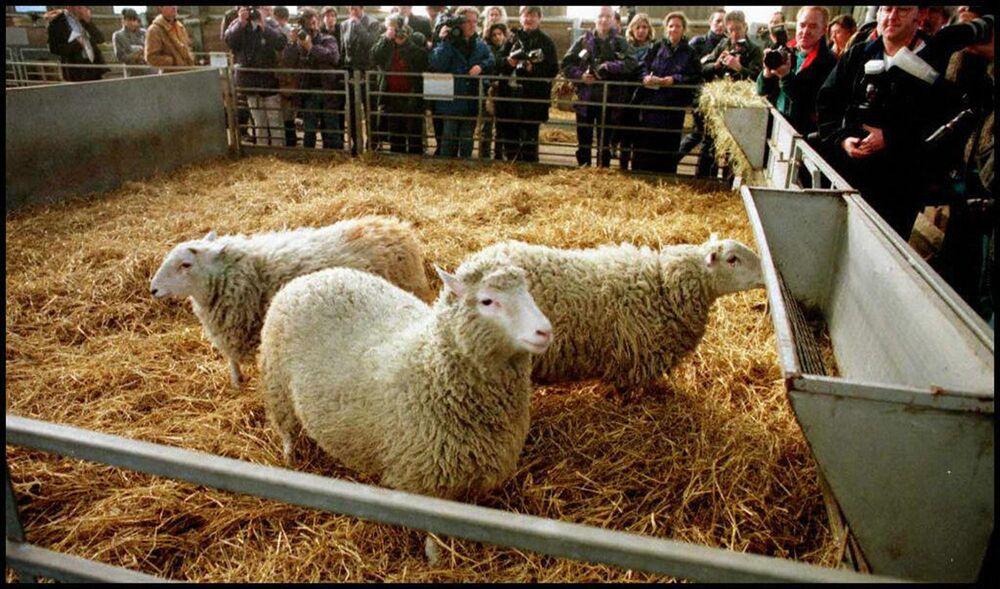 La pecora clonata Dolly di 7 mesi ad Edimburgo
