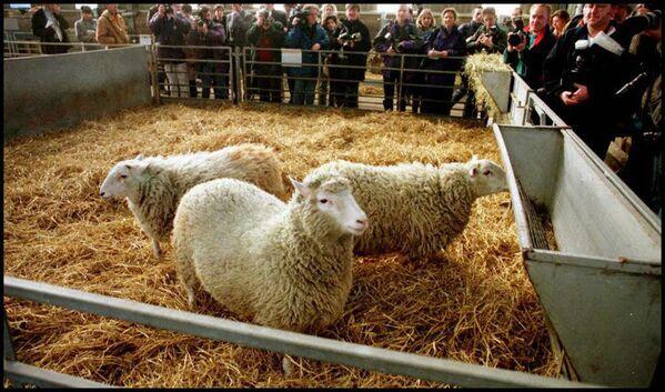 La pecora clonata Dolly di 7 mesi ad Edimburgo - Sputnik Italia
