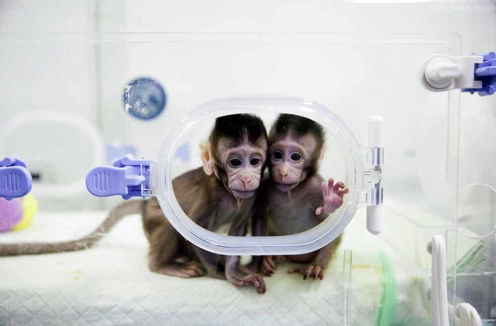 Scimmie clonate nel laboratorio dell'Accademia cinese delle scienze, 22 gennaio 2018