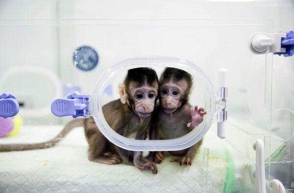 Scimmie clonate nel laboratorio dell'Accademia cinese delle scienze, 22 gennaio 2018 - Sputnik Italia