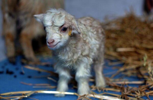 La capra di montagna di Kasmir, si chiama Noori, è stata clonata in 2012 in India  - Sputnik Italia
