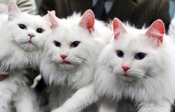 I due gatti clonati (in centro e in destra) nell'università nazionale in 2007 in Corea del Sud   - Sputnik Italia