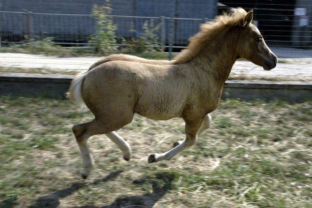 Il primo cavallo, si chiama Prometea, che è stato clonato dalla cellula di un cavallo adulto che ha dato alla luce il suo gemello genetico.