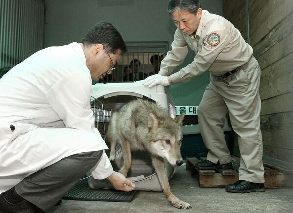 Una lupa clonata è in uno zoo a Seoul in Corea del Sud - Sputnik Italia