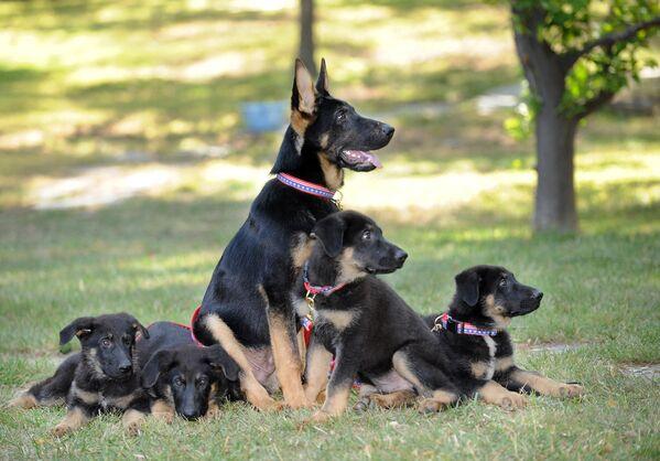 I cuccioli da pastore tedesco clonati sono stati presentati in un conferenza di stampa a Los Angeles in 2019 - Sputnik Italia
