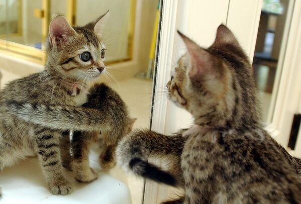 Gattini di San Francisco che sono stati clonati con una tecnologia nuova che è stata sviluppata dal Genetic Savings & Clone - Sputnik Italia