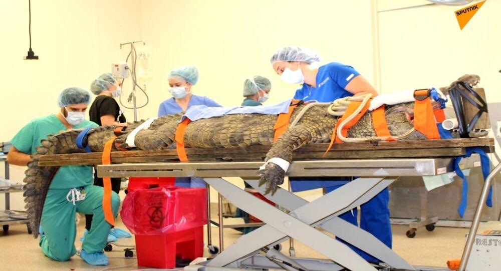 USA: i medici hanno salvato un coccodrillo di oltre tre metri, che aveva ingoiato una scarpa