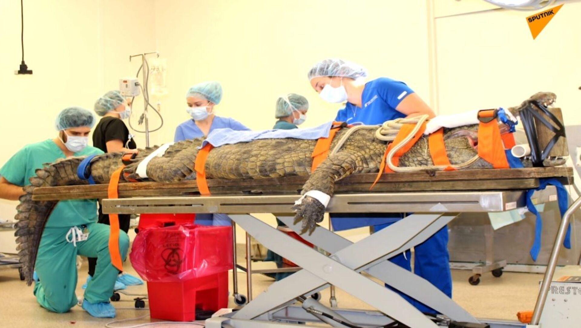 USA: i medici hanno salvato un coccodrillo di oltre tre metri, che aveva ingoiato una scarpa - Sputnik Italia, 1920, 25.02.2021