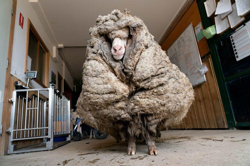 Una pecora selvatica e malata trovata in una foresta in Australia, chiamata Baarack dai soccorritori, è stata tosata per la prima volta dopo molti anni