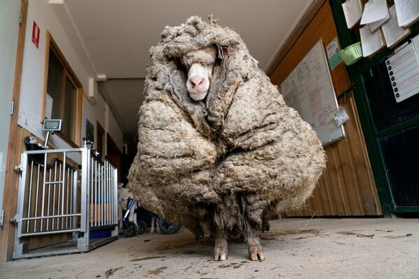 Una pecora selvatica e malata trovata in una foresta in Australia, chiamata Baarack dai soccorritori, è stata tosata per la prima volta dopo molti anni - Sputnik Italia
