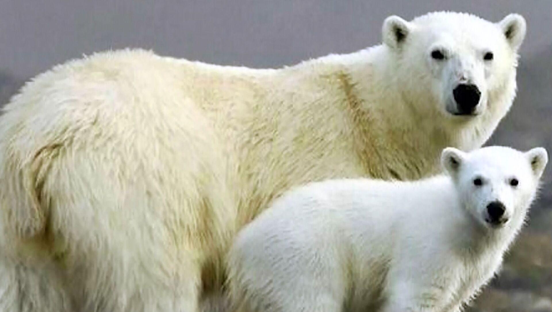 Giornata mondiale dell'orso polare: i grandi predatori chiedono aiuto   - Sputnik Italia, 1920, 27.02.2021