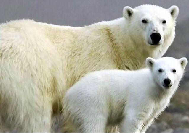 Giornata mondiale dell'orso polare: i grandi predatori chiedono aiuto