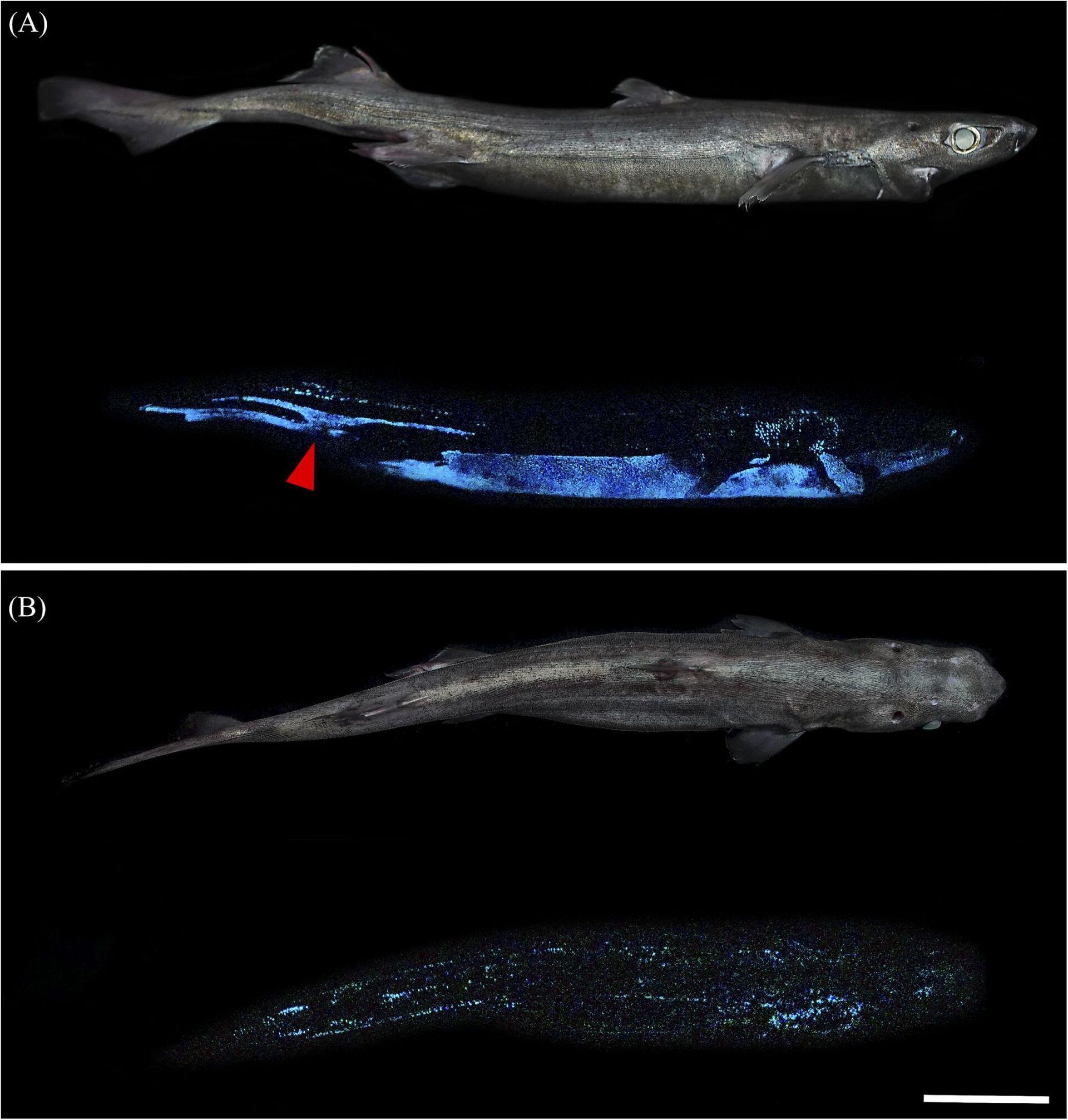 Squali giganti luminosi. Nelle profondità degli oceani brillano tre specie - Sputnik Italia, 1920, 02.03.2021