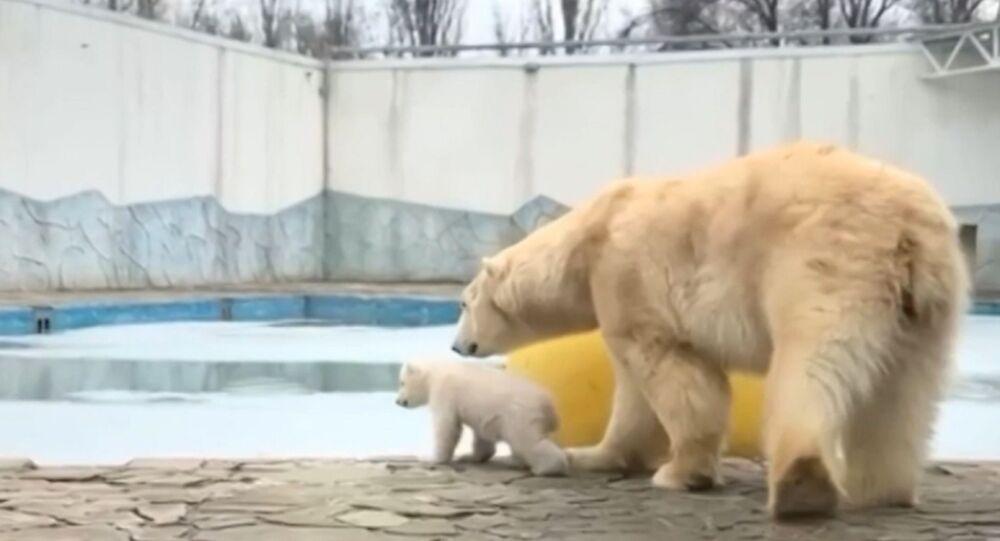 Primi passi: la mamma orso porta il cucciolo a fare una passeggiata per la prima volta