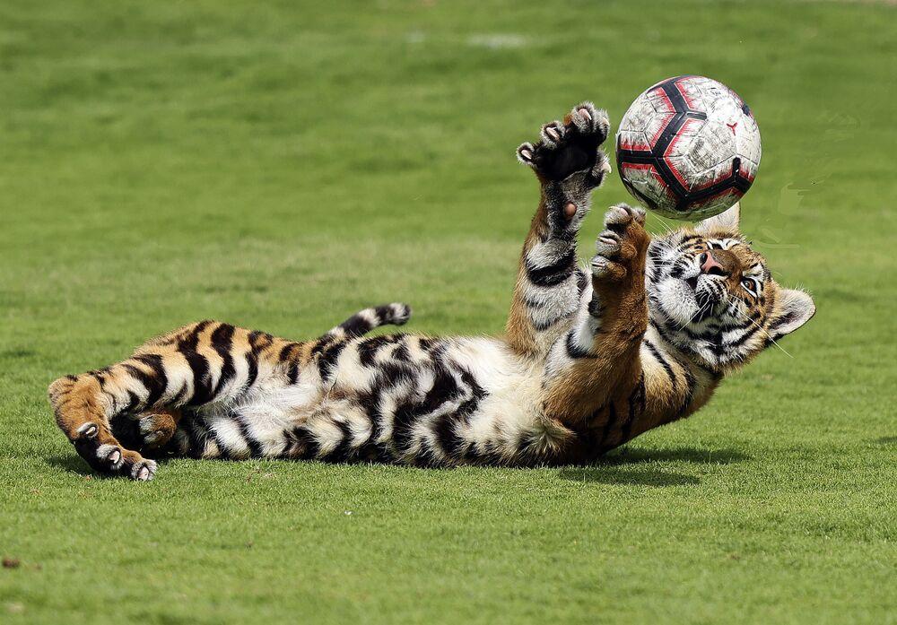 Un cucciolo di tigre gioca con una palla allo zoo privato di Albuqaish nell'Emirato di Sharjah, il 2 marzo 2021