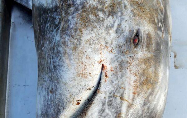 Recupero del delfino spiaggiato, specie grampo (Grampus griseus) - Sputnik Italia