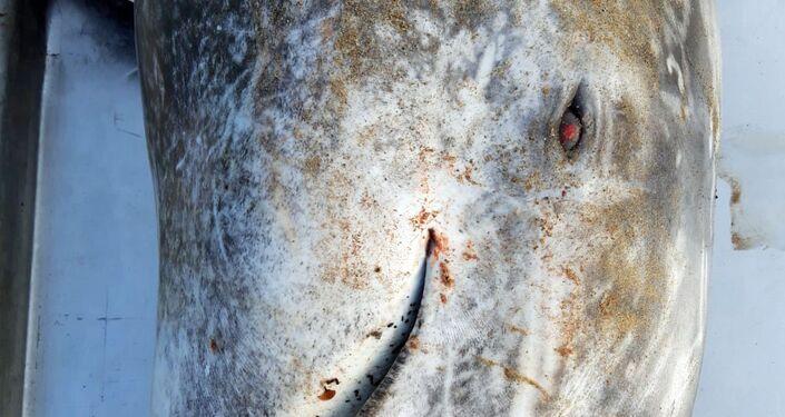 Recupero del delfino spiaggiato, specie grampo (Grampus griseus)
