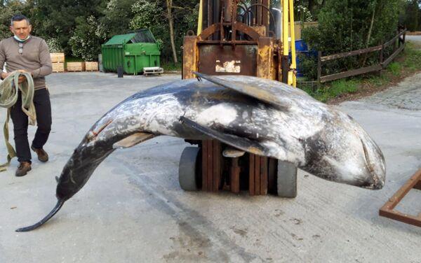 Recupero del delfino spiaggiato specie grampo (Grampus griseus) - Sputnik Italia