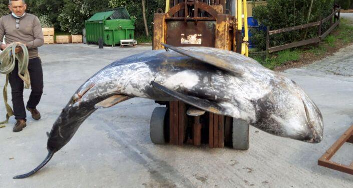 Recupero del delfino spiaggiato specie grampo (Grampus griseus)