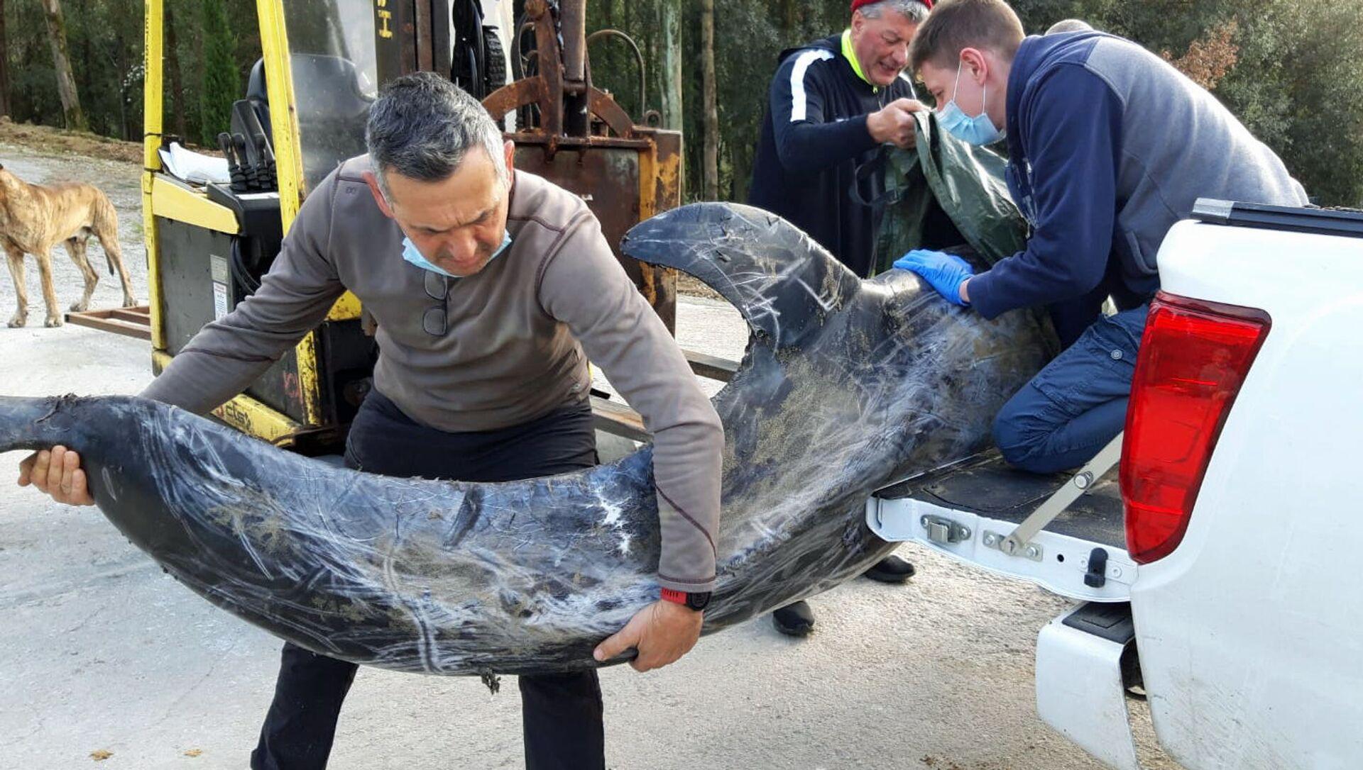 Recupero del delfino spiaggiato, specie grampo (Grampus griseus) - Sputnik Italia, 1920, 10.03.2021