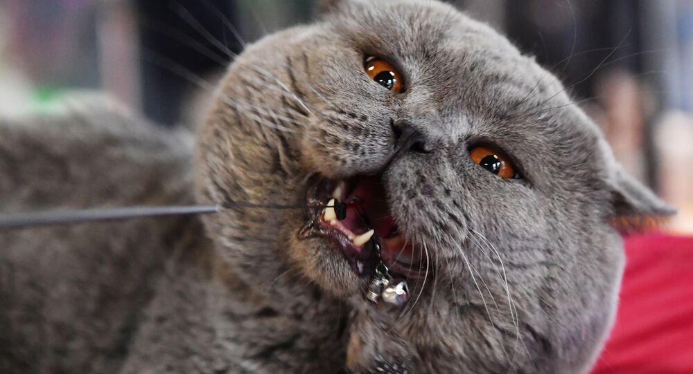 Gatto britannico